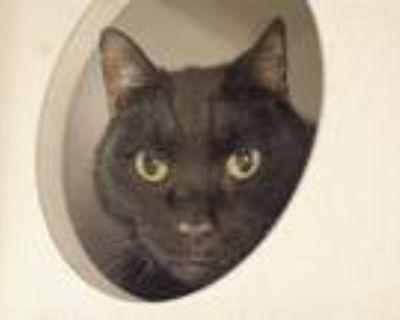 Adopt MAX a All Black Domestic Mediumhair / Mixed (medium coat) cat in Denver