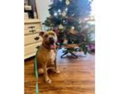 Adopt Moose/Miguel a German Shepherd Dog, Pit Bull Terrier