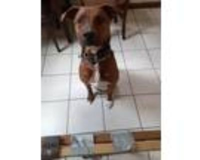 Adopt Max a Brown/Chocolate - with White Labrador Retriever / American Pit Bull