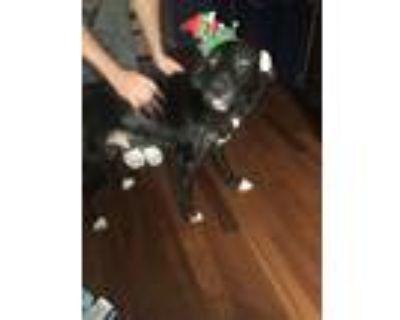 Adopt Charlie a Black - with White Labrador Retriever / Border Collie / Mixed
