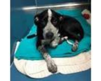 Adopt Benji a Black Blue Heeler / Labrador Retriever / Mixed dog in Merriam