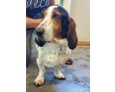 Adopt Snickers Torr a Tricolor (Tan/Brown & Black & White) Basset Hound / Mixed
