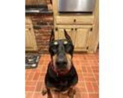 Adopt Tilly Tulip a Black Doberman Pinscher / Mixed dog in Kansas City
