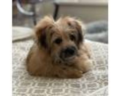 Adopt Roxy a Tan/Yellow/Fawn - with Black Pomeranian / Poodle (Standard) / Mixed