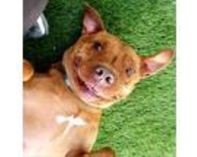 Manchee, Pit Bull Terrier For Adoption In Phoenix, Arizona