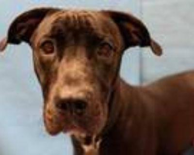Adopt Elvis a Black Labrador Retriever / Mixed dog in Golden Valley