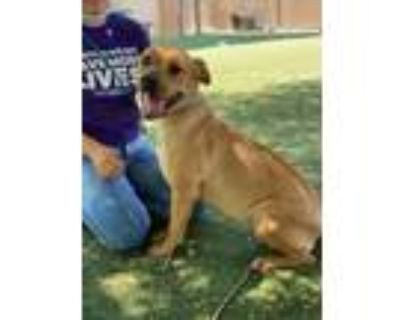 Adopt Willie a Pit Bull Terrier, Mixed Breed