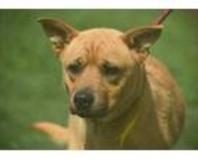 Adopt Oklahoma a Brown/Chocolate Retriever (Unknown Type) / Mixed dog in