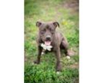Adopt Stormi a Black - with White Pit Bull Terrier / Mixed dog in Junction City