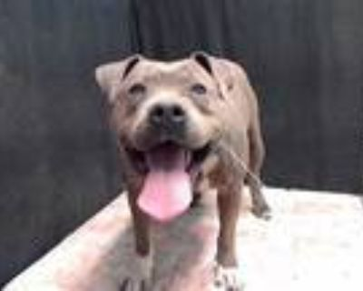 Adopt CHICO a Gray/Silver/Salt & Pepper - with White American Pit Bull Terrier /