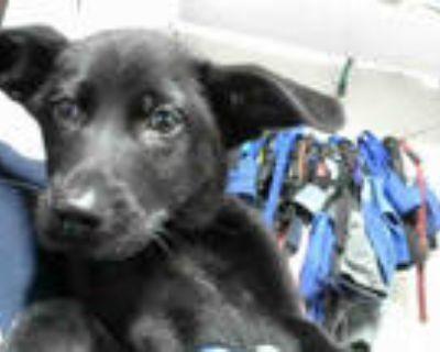 Adopt MISTY a Black Labrador Retriever / Mixed dog in Atlanta, GA (32099674)