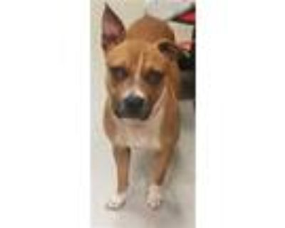 Adopt FANNI-MAY a Red/Golden/Orange/Chestnut - with White Boxer / Mixed dog in