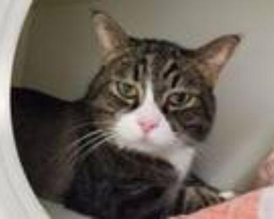 Adopt CARMELLO a Maine Coon, Domestic Short Hair