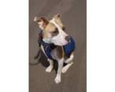 Adopt Grayson a White - with Tan, Yellow or Fawn American Pit Bull Terrier /