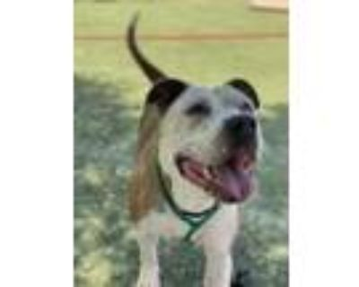 Adopt Pepa a Pit Bull Terrier, Mixed Breed