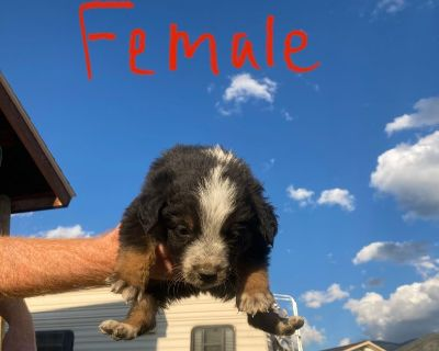 ADORABLE border collie mix puppies for sale!