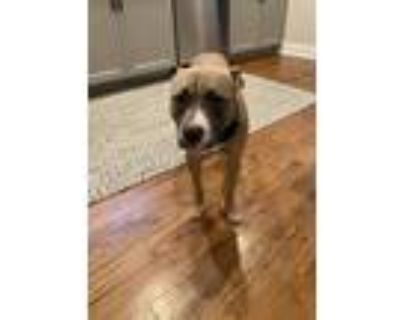 Adopt Roo a Tan/Yellow/Fawn - with White Boxer / American Pit Bull Terrier /