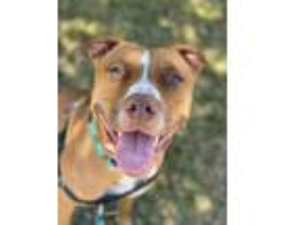 Adopt Ginny a American Staffordshire Terrier, Pit Bull Terrier