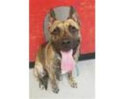 Adopt SUPER TROOPER a Brindle - with White Dutch Shepherd / Mixed dog in