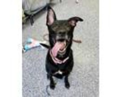 Adopt Bonnie a Black Shepherd (Unknown Type) / Mixed dog in Indianapolis