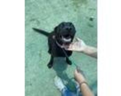 Adopt Stacia a Brown/Chocolate Border Terrier / Mixed dog in El Paso