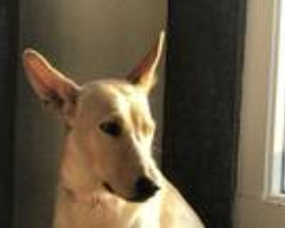 Adopt Hazel a Tan/Yellow/Fawn Labrador Retriever dog in Castle Rock