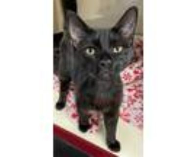 Adopt PAWSITIVE a All Black Domestic Shorthair / Mixed (short coat) cat in