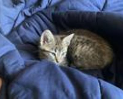 Adopt Athena a Gray, Blue or Silver Tabby American Shorthair / Mixed (short