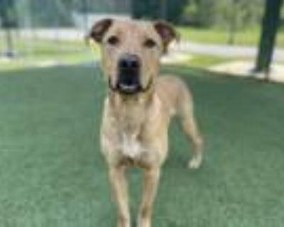 Adopt Chance a Labrador Retriever, Mixed Breed