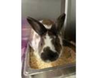 Adopt Benny a Chocolate Other/Unknown / Other/Unknown / Mixed rabbit in Newport