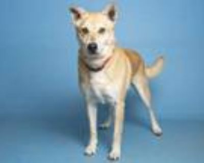 Adopt BUDDY BOY a Tan/Yellow/Fawn Chow Chow / Shiba Inu / Mixed dog in Phoenix