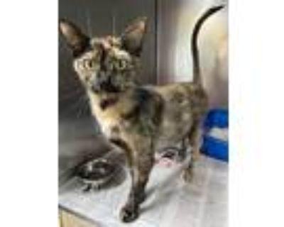 Macy, Domestic Shorthair For Adoption In Newport, North Carolina