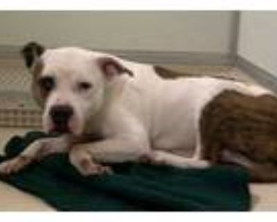 Adopt Apollo a White American Pit Bull Terrier / Mixed dog in Raeford