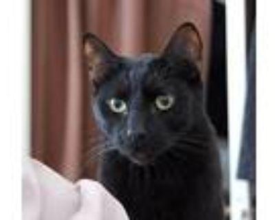 Abbott, Siamese For Adoption In Sherman Oaks, California