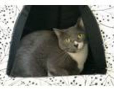 Adopt Gracon a Gray or Blue (Mostly) Domestic Shorthair / Mixed (short coat) cat