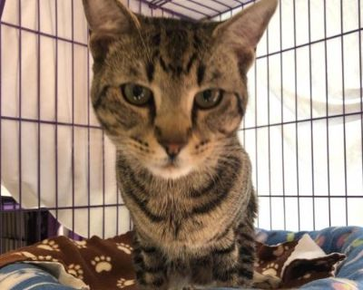 Male Domestic Short Hair named Edward available for adoption