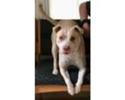 Adopt Bo a Tan/Yellow/Fawn - with White Pit Bull Terrier / Mixed dog in Loudon