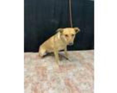 Adopt TRACY a Labrador Retriever, Mixed Breed