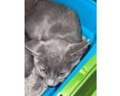 Adopt Lil' Chomp a Gray or Blue Domestic Shorthair / Domestic Shorthair / Mixed