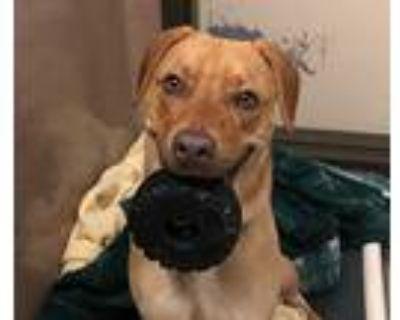 Leo, Labrador Retriever For Adoption In Oceanside, California