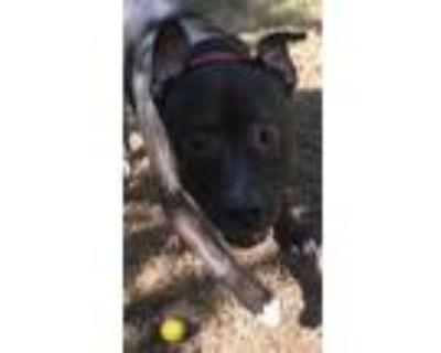 Adopt Butch a Mastiff, American Staffordshire Terrier