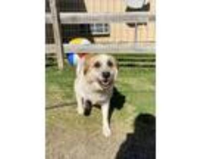 Adopt Uriel (Urie) a White - with Red, Golden, Orange or Chestnut Great Pyrenees