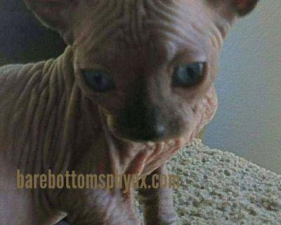 Bambino's sphynx elf
