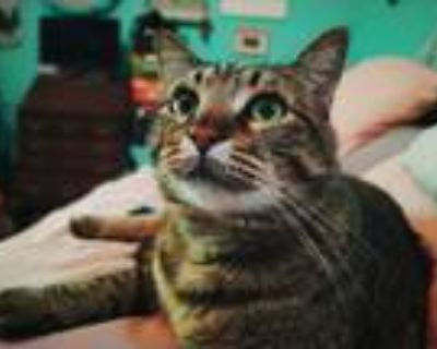 Adopt Baloney a Brown or Chocolate (Mostly) Domestic Shorthair / Mixed (short