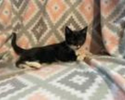 Adopt Squeakers a Domestic Short Hair