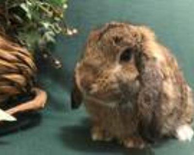 Adopt Pretzel a Agouti Lop, Holland / Mixed (short coat) rabbit in West Palm