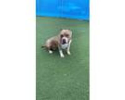 Adopt 47935506 a Brown/Chocolate American Pit Bull Terrier / Mixed dog in