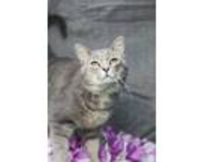 Adopt Bucky a Gray or Blue Domestic Shorthair / Domestic Shorthair / Mixed cat