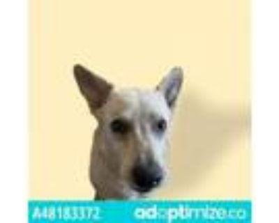 Adopt 48183372 a Australian Cattle Dog / Blue Heeler, Mixed Breed