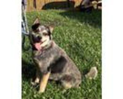Adopt Rusty a Merle Blue Heeler / Mixed dog in Niagara Falls, NY (31830087)
